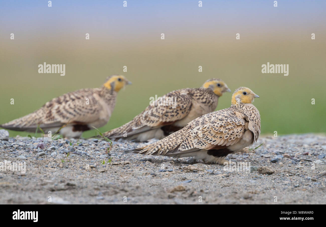 Steppehoen bij een drinkplaats in Kazachstan; Pallas's Sandgrouse (Syrrhaptes paradoxus) at a drinking pool - Stock Image