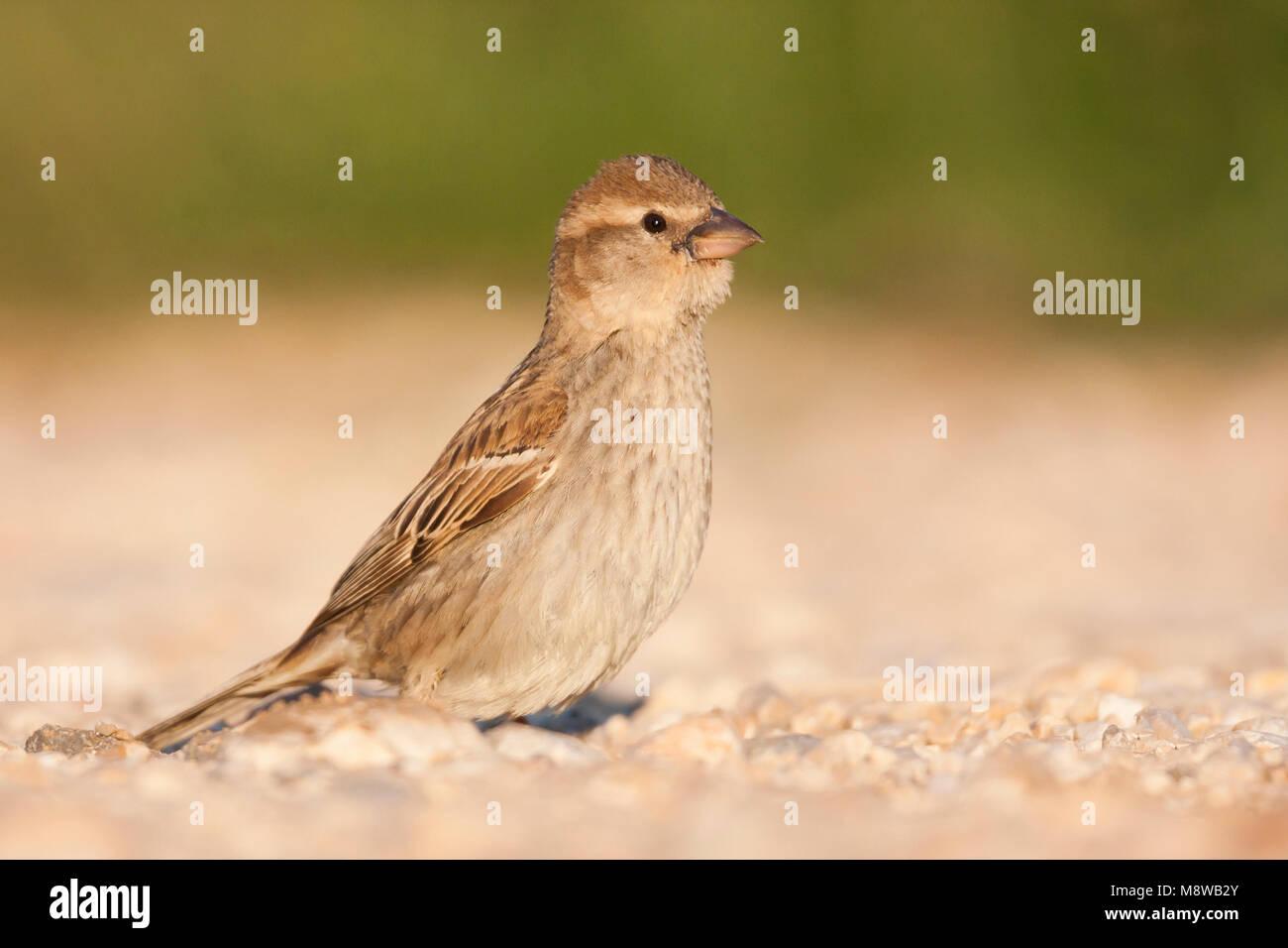Spanish Sparrow - Weidensperling - Passer hispaniolensis ssp. hispaniolensis, adult female, Croatia Stock Photo