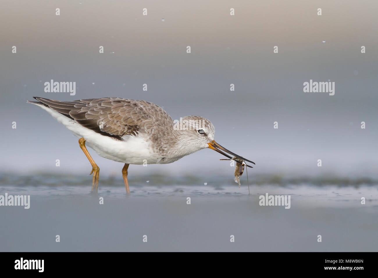 Terek Sandpiper - Terekwasserläufer - Xenus cinereus, Oman, nonbreeding Stock Photo
