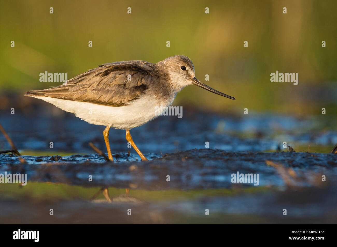 Terek Sandpiper - Terekwasserläufer - Xenus cinereus, Oman Stock Photo