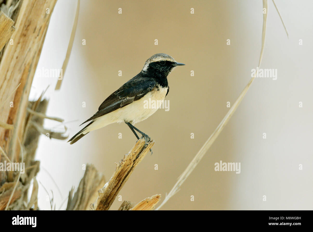 Cyprustapuit; Cyprus Wheatear; Oenanthe cypriaca; male Stock Photo