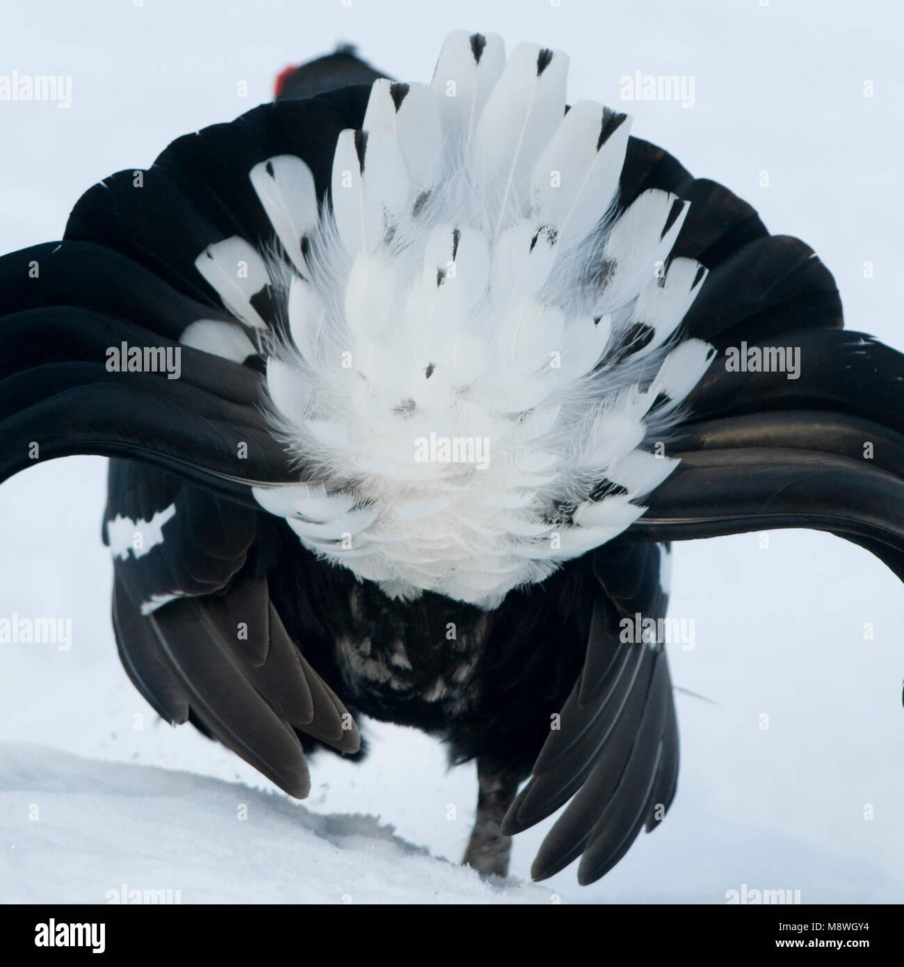 Black Grouse male lekking in the snow; Korhoen man baltsend in de sneeuw - Stock Image