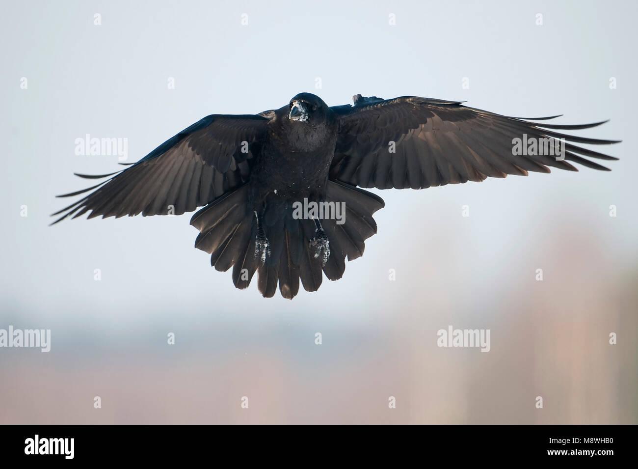 Landende raaf; Landing Raven - Stock Image