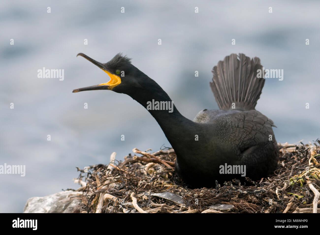 Kuifaalscholver op het nest; European Shag on nest - Stock Image