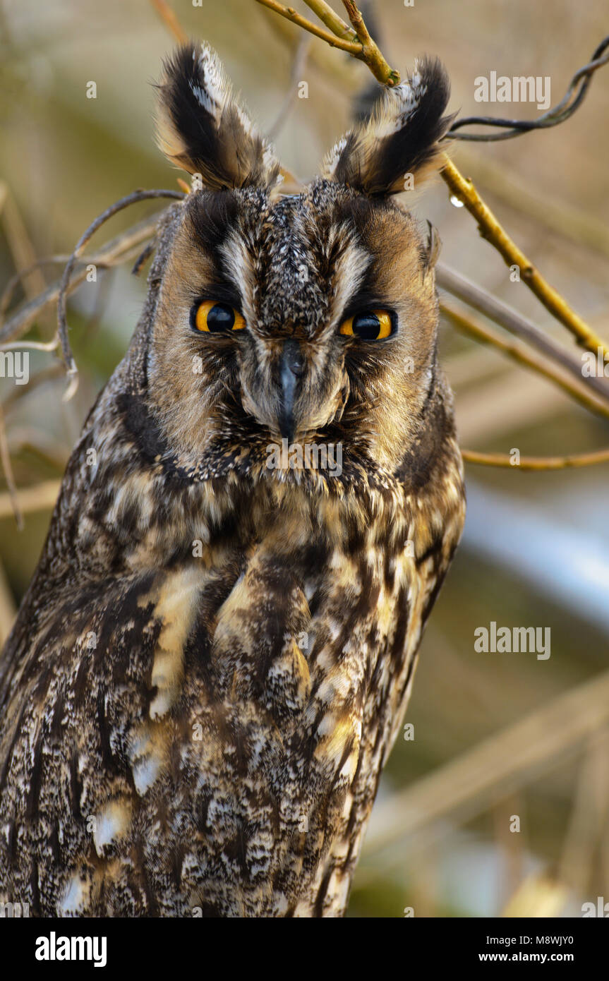 Ransuil close-up; Long-eared Owl close up - Stock Image