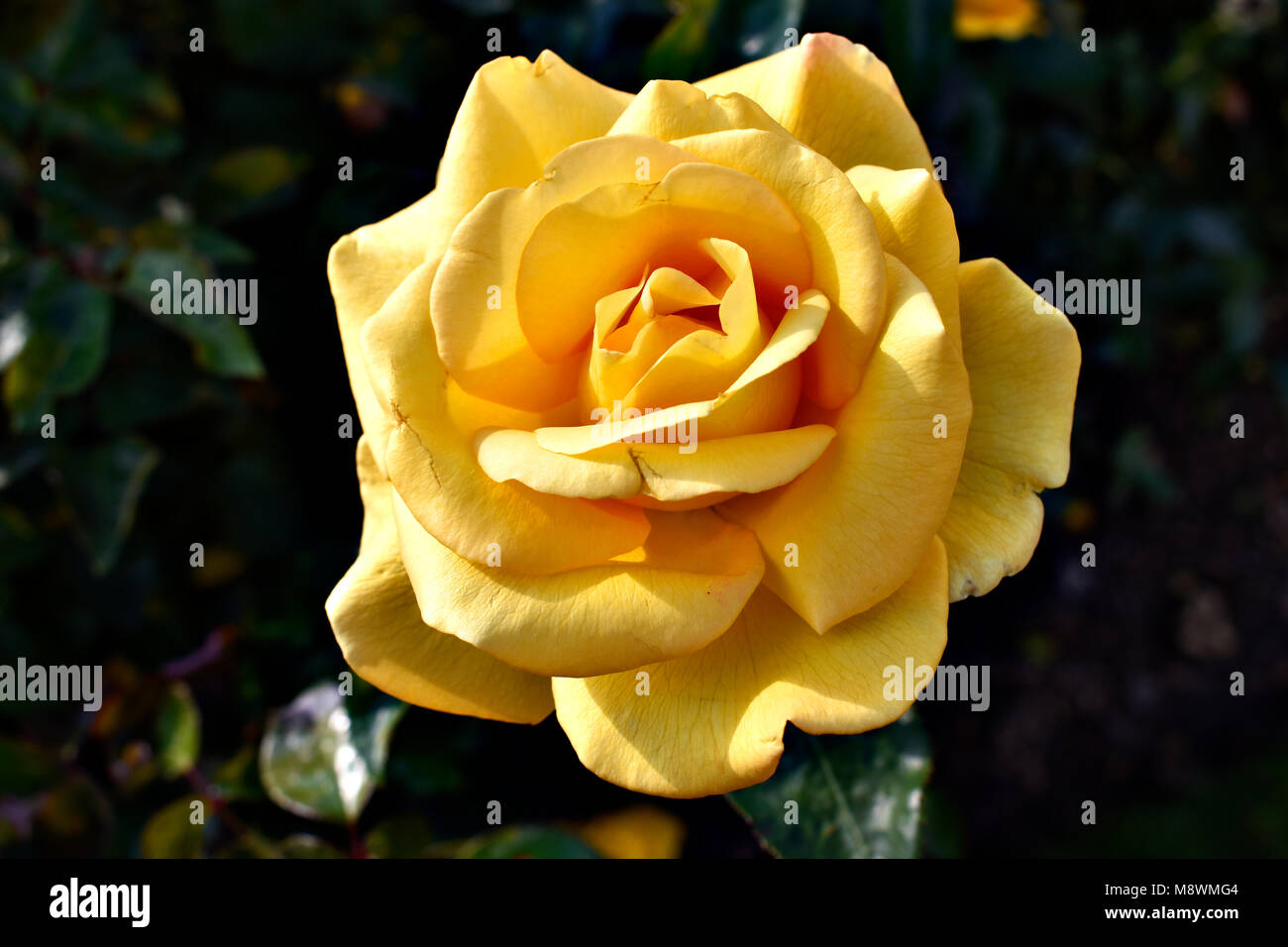 Yellow Rose Of Friendship Stock Photos Yellow Rose Of Friendship