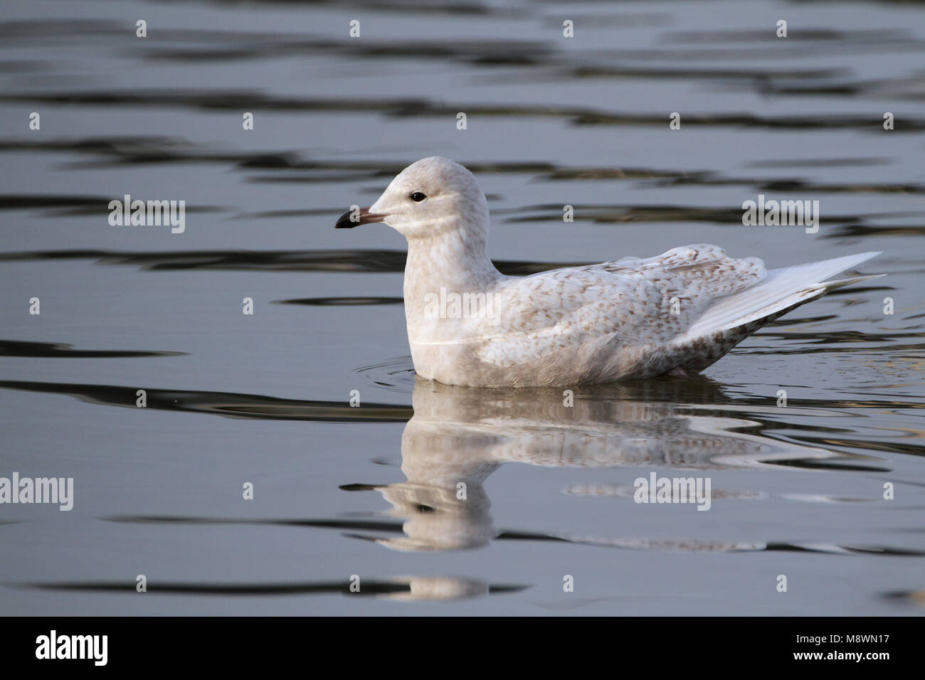 Zwemmende onvolwassen Kleine Burgemeester, Swimming immature Iceland Gull Stock Photo