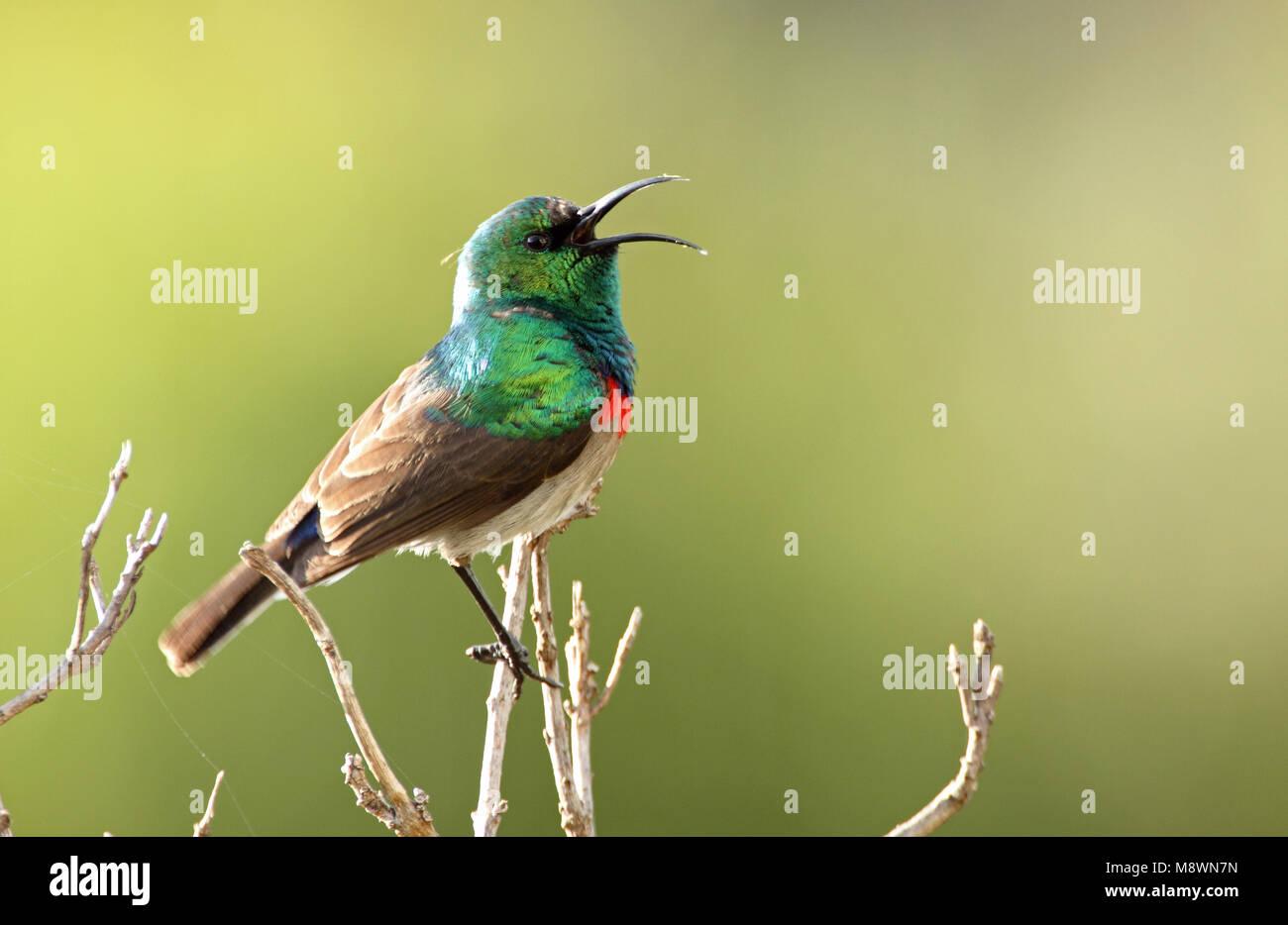 Zingende Kleine Kraaghoningzuiger, Southern Double-collared Sunbird singing - Stock Image