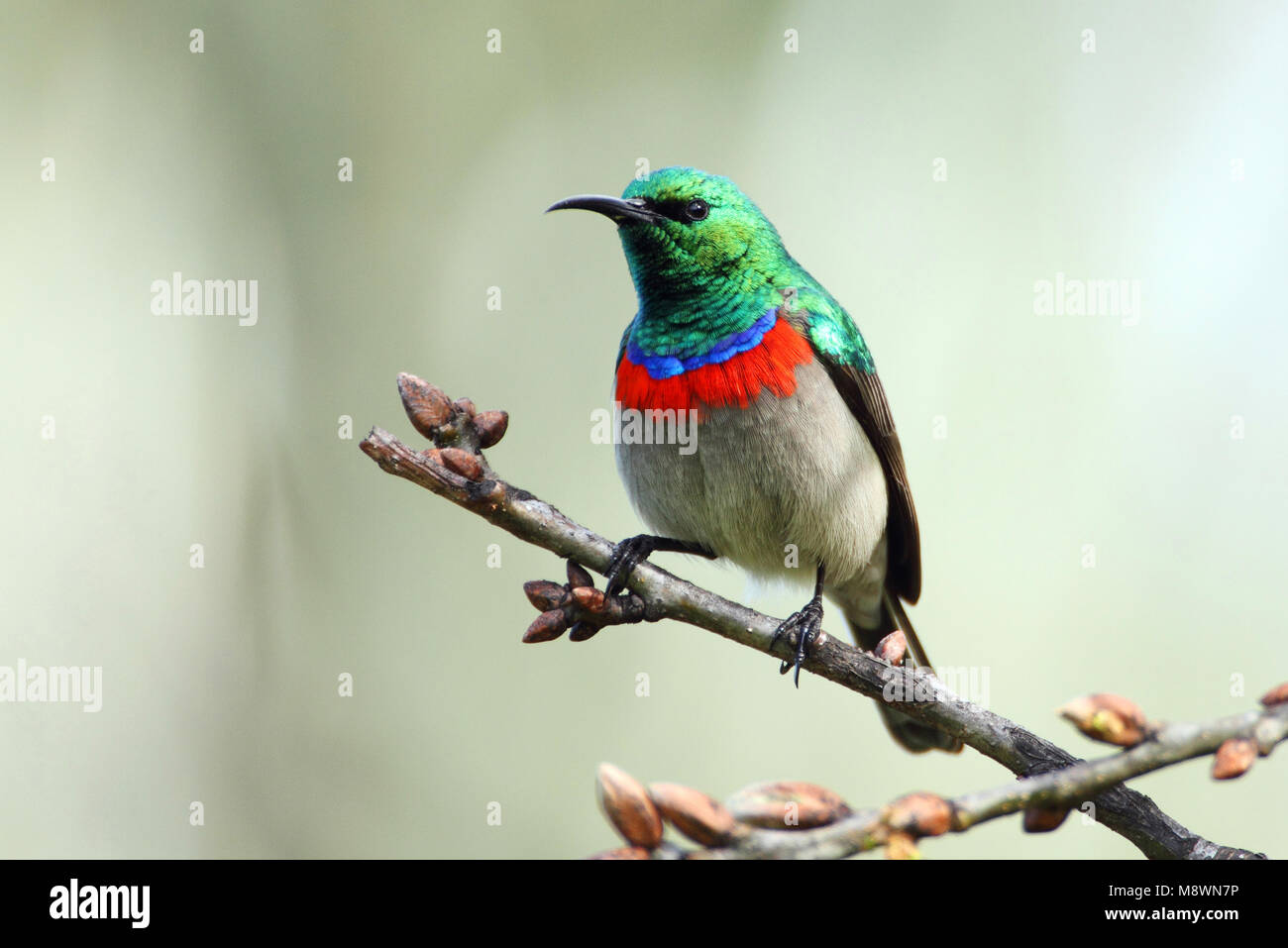Kleine Kraaghoningzuiger, Southern Double-collared Sunbird - Stock Image