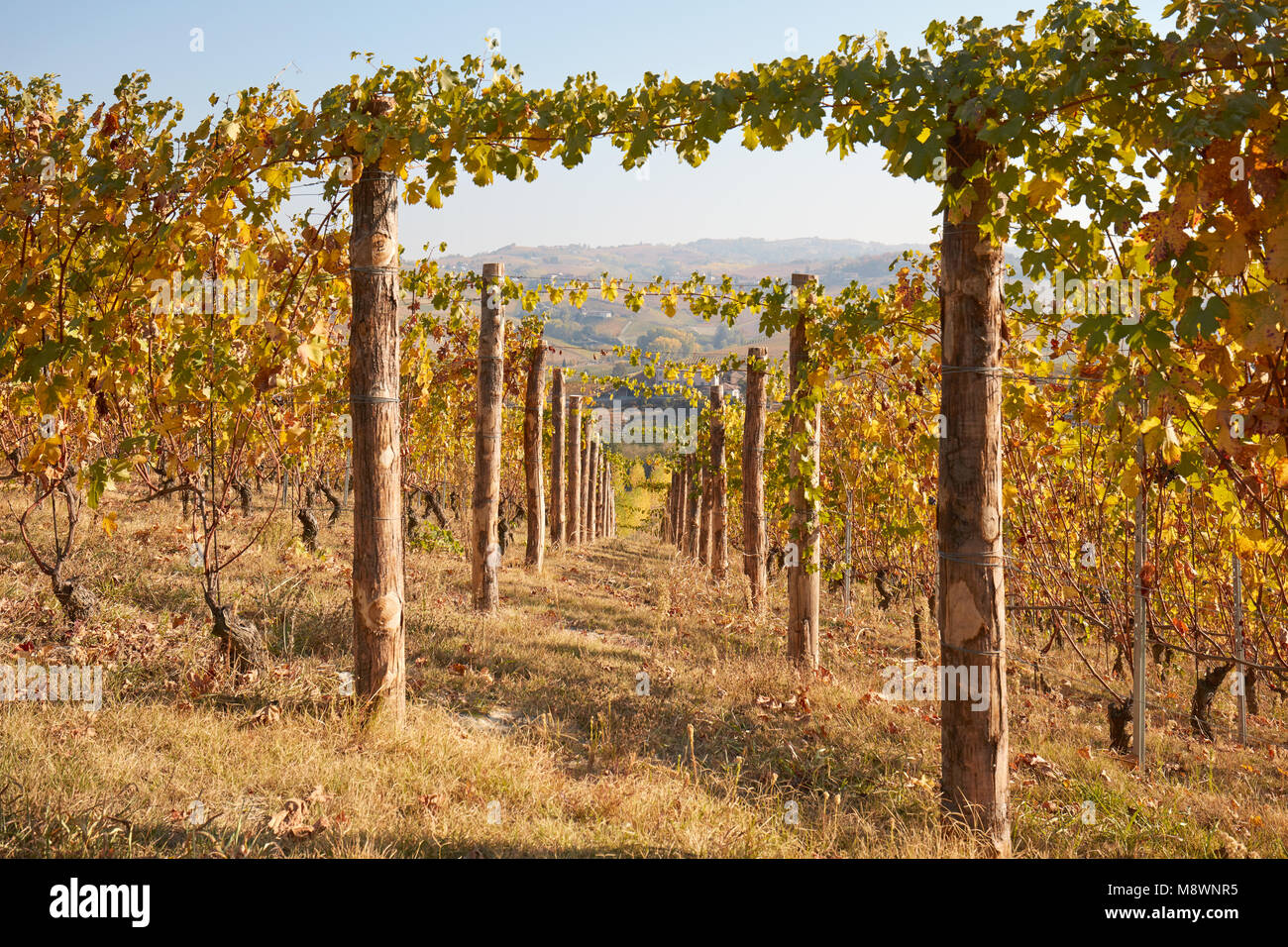 Vineyard in autumn, vine rows with wooden poles in a sunny day, vanishing point - Stock Image