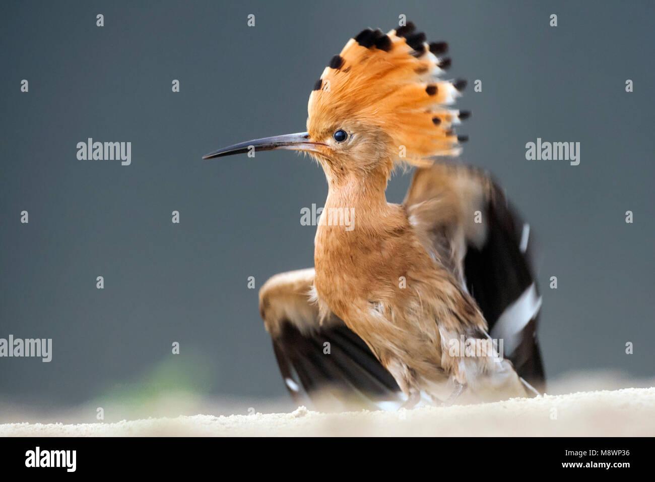 Hop met opgezette kuif schuddend met vleugels; Eurasian Hoopoe ruffling feathers with erected crest Stock Photo