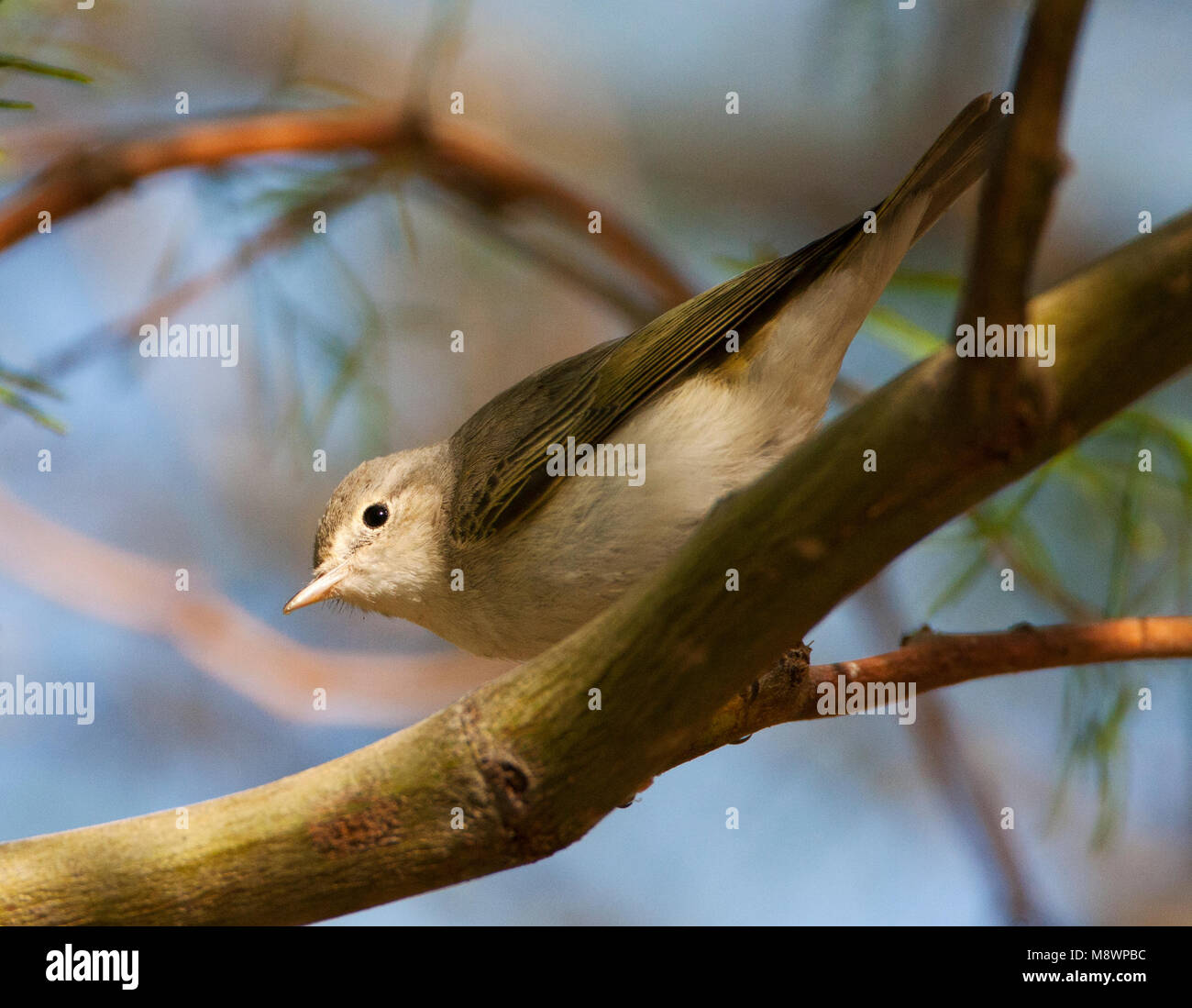Balkanbergfluiter, Balkan's Warbler, Phylloscopus orientalis - Stock Image