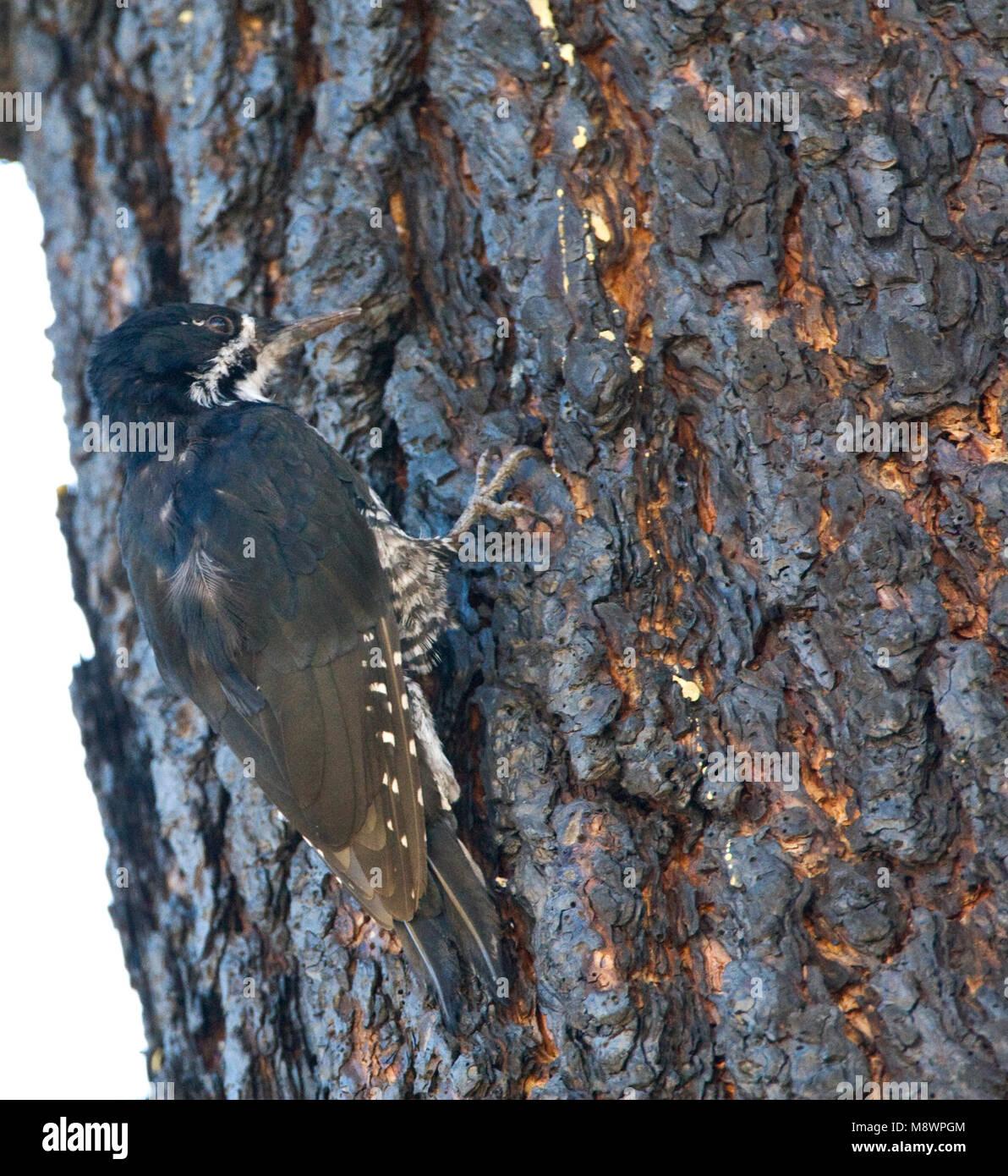 Zwartrugspecht, Black-backed Woodpecker - Stock Image