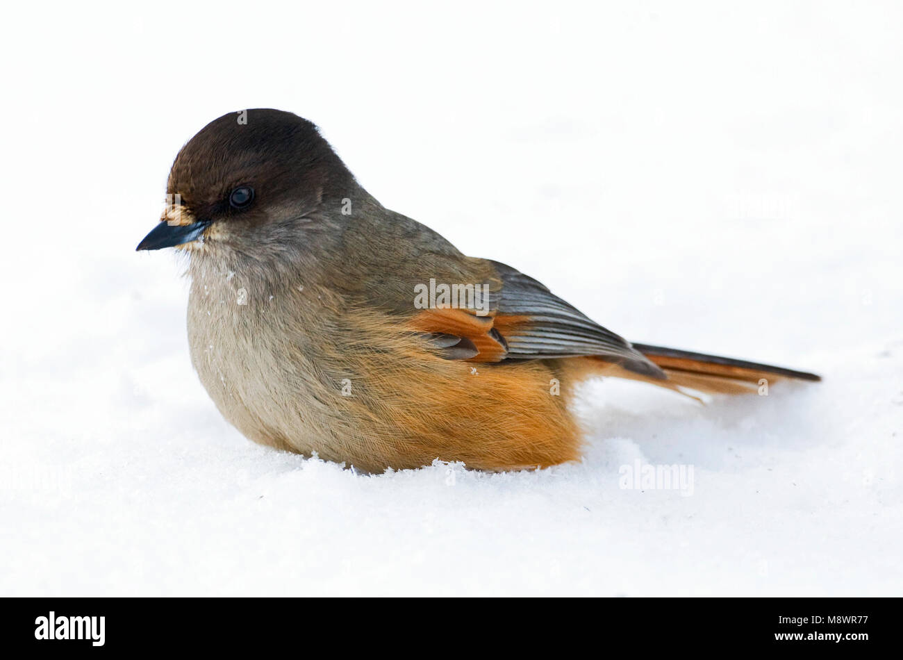 Taigagaai, Siberian Jay Stock Photo