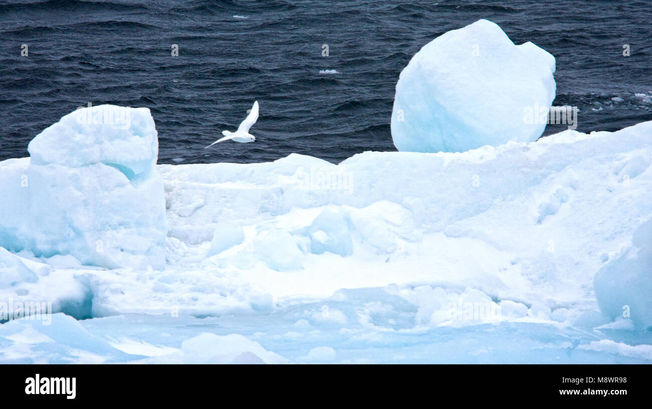 Sneeuwstormvogel in vlucht boven drijfijs ; Snow Petrel in flight above drift ice - Stock Image