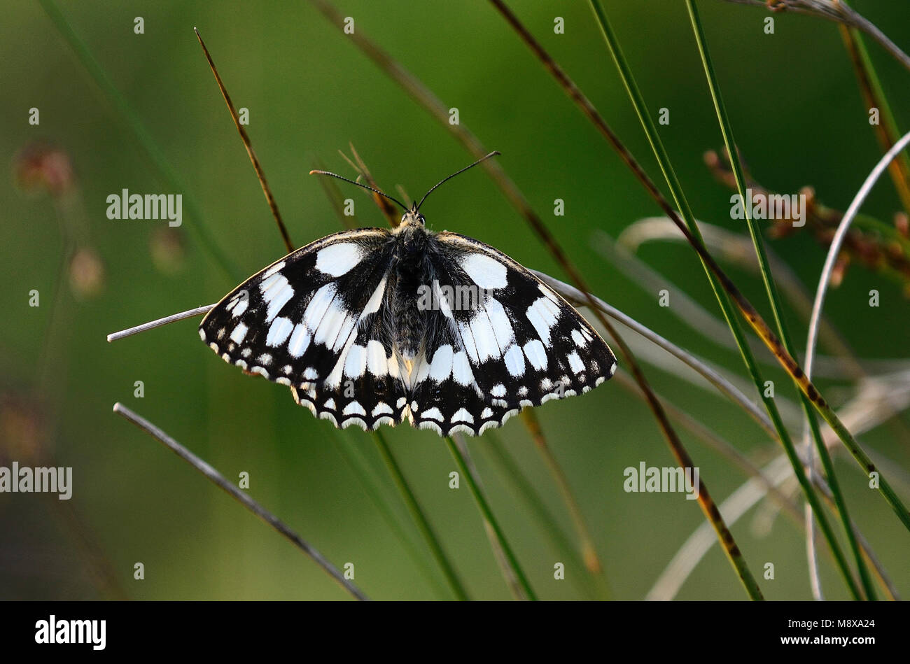 Marbled white butterlfy at rest - Stock Image
