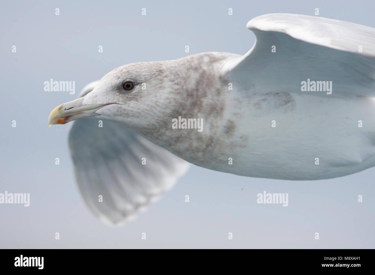 Volwassen Beringmeeuw in de vlucht; Adult Glaucous-winged Gull in flight - Stock Image