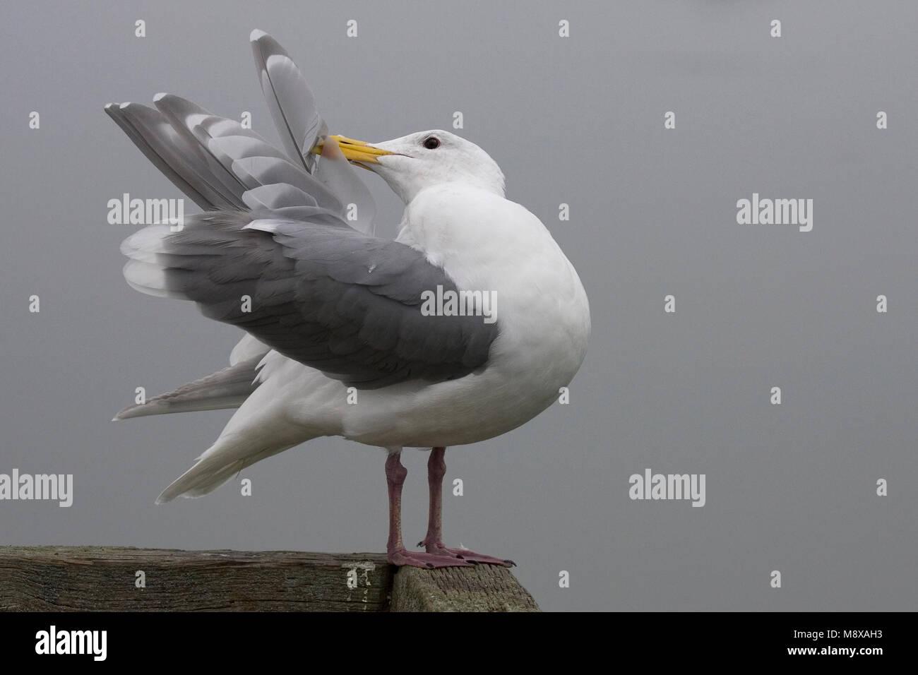 Beringmeeuw poetsend; Glaucous-winged Gull preening - Stock Image