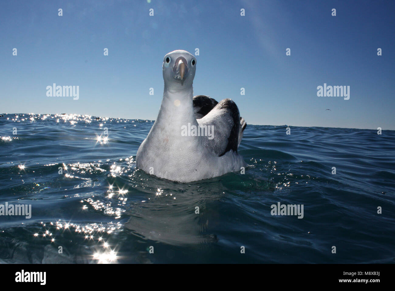 Zwemmende Grote Albatros; Swimming Wandering Albatross - Stock Image