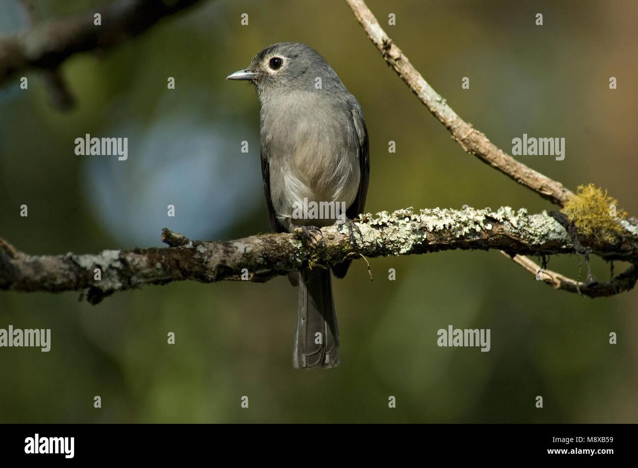 Bergdrongovliegenvanger zittend op een tak; White-eyed Slaty Flycatcher perched on a branch - Stock Image