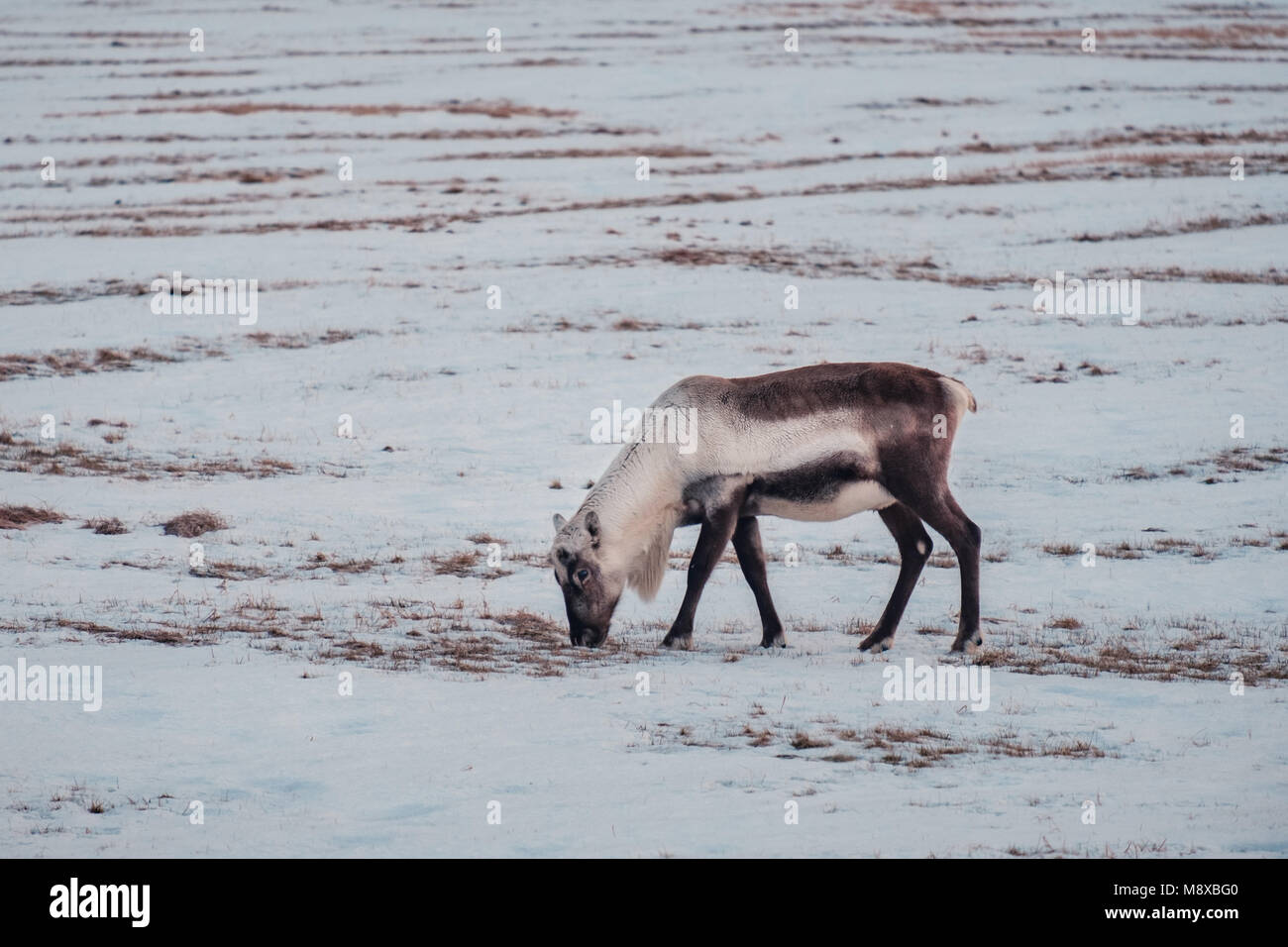 Icelandic reindeer grazing near the Glacier Lagoon in south east Iceland in its natural winter environment. Stock Photo