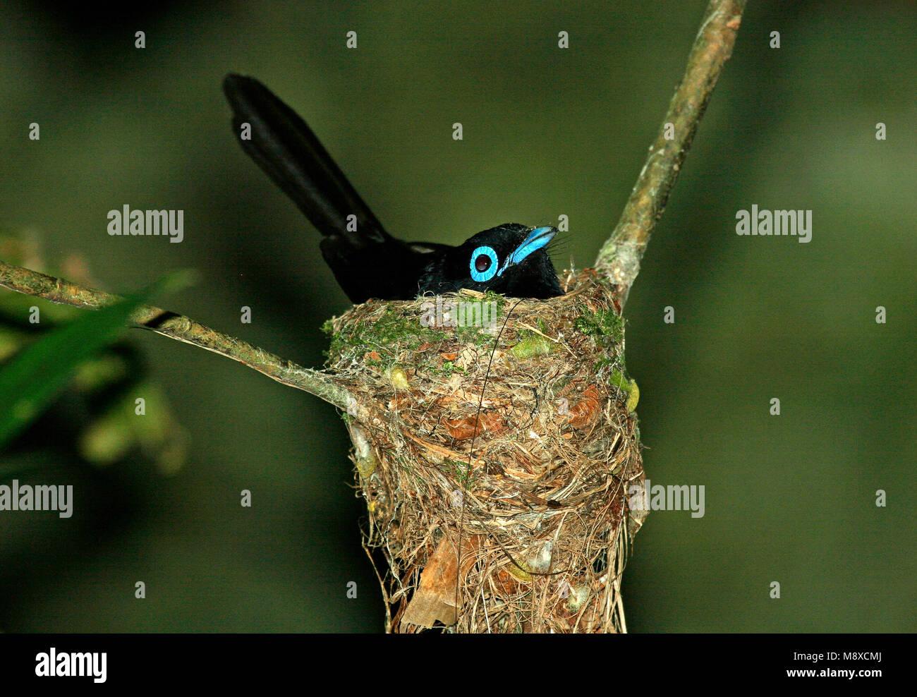 Japanse Paradijsmonarch op nest, Japanese Paradise-Flycatcher on nest Stock Photo