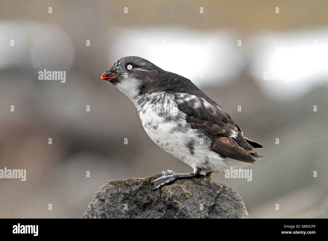 Dwergalk zittend op rots, Least Auklet perched on rock - Stock Image