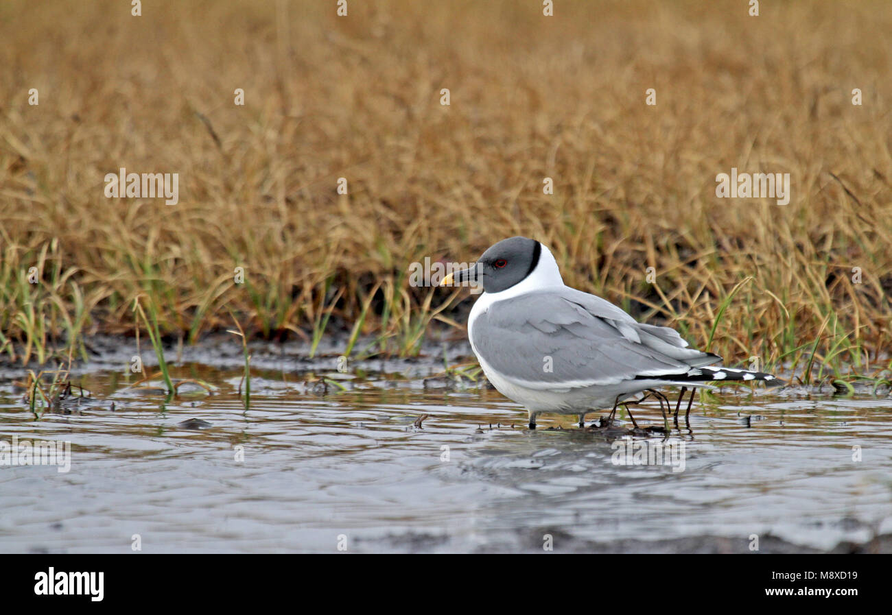 Vorkstaartmeeuw adult in water; Sabines Gull adult perched in water - Stock Image