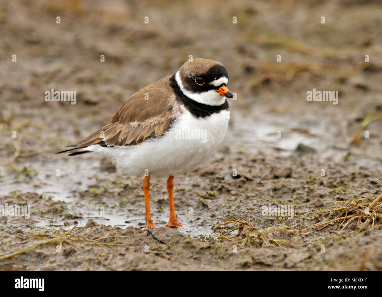 Adulte Amerikaanse Bontbekplevier; Semipalmated Plover adult - Stock Image