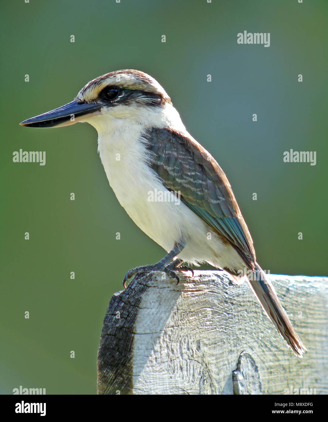 Boraboraijsvogel, Chattering Kingfisher - Stock Image