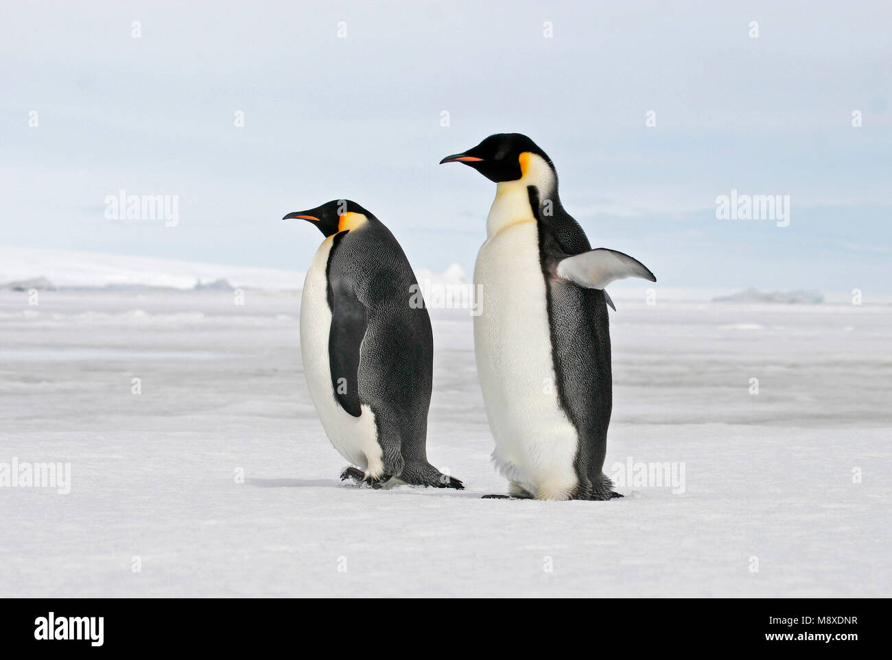 keizerspinguïn; Emperor Penguin Stock Photo