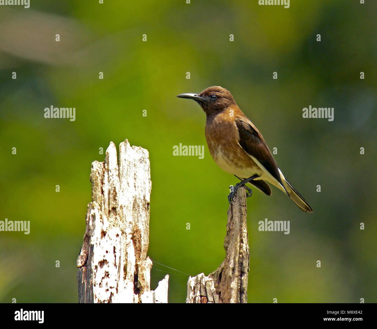 Madagaskarspreeuw, Madagascan starling - Stock Image