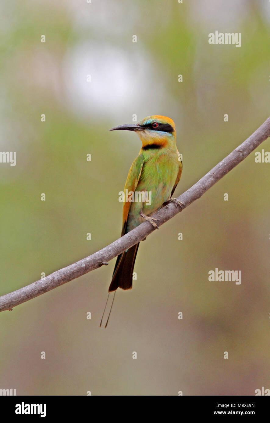 Regenboogbijeneter zittend op een tak, Rainbow Bee-eater perched on a branch - Stock Image