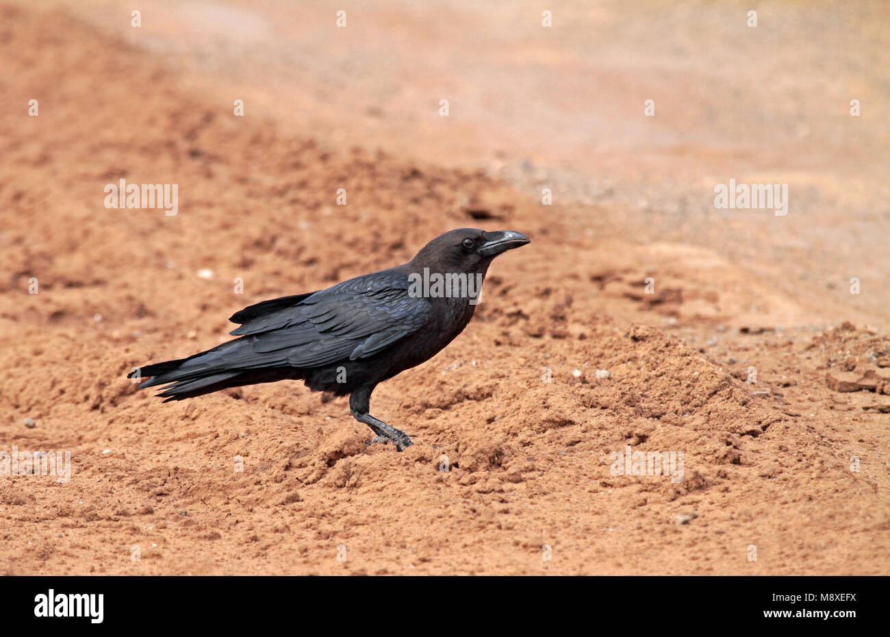 Ethiopische raaf, Somali crow - Stock Image