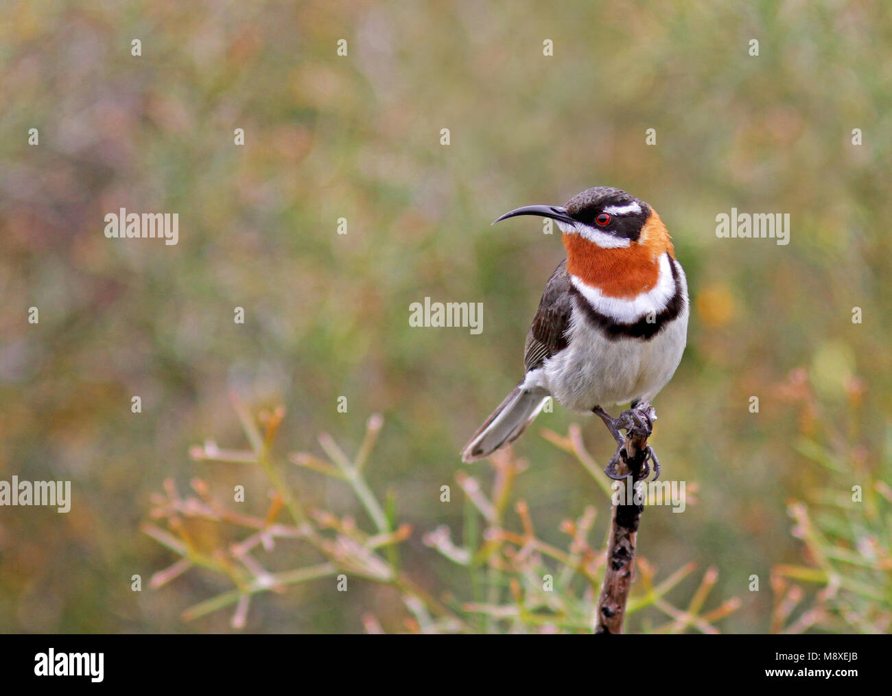 Roesthalshoningvogel, Western Spinebill - Stock Image