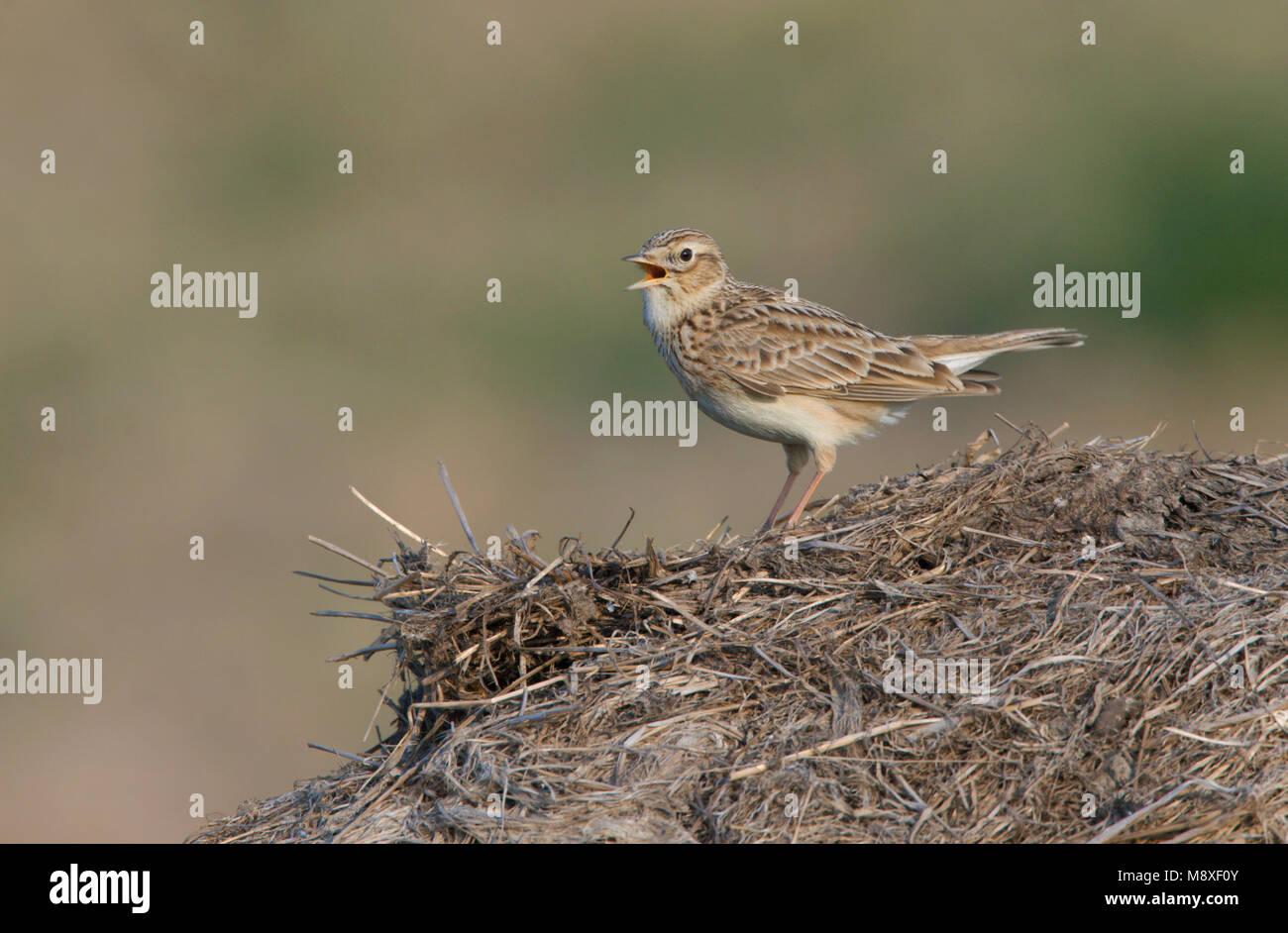 Eurasian Skylark singing; Veldleeuwerik zingend - Stock Image