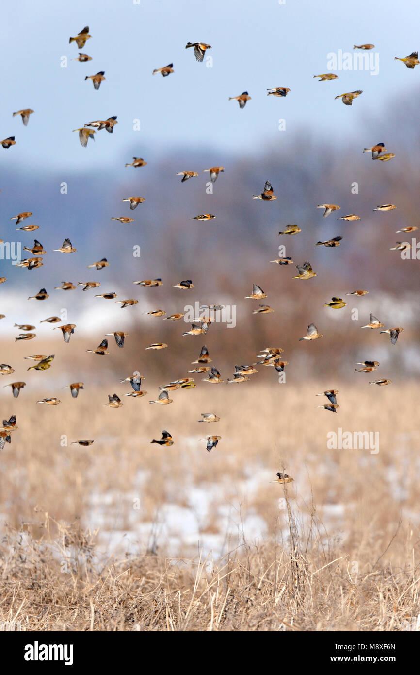 Grote groep overwinterende vinkachtigen, zaadeters (Kneu) vliegen boven winters akkervogelreservaat Mortelshof. Stock Photo