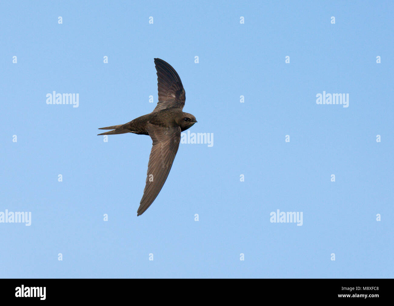 Vliegende, jagende, in de lucht fouragerende Gierzwaluw. Flying, in the air foraging Common Swift - Stock Image