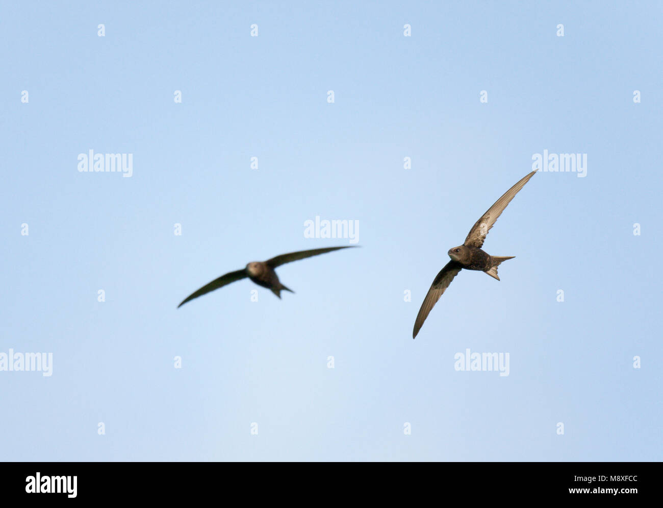Twee Vliegende, jagende, in de lucht fouragerende Gierzwaluwen. Two Flying, in the air foraging Common Swift - Stock Image