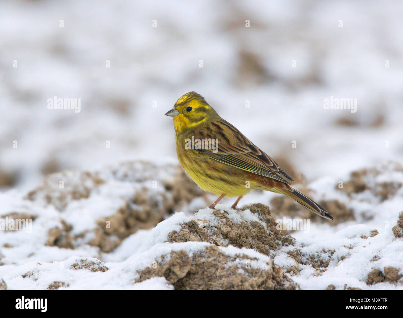 Mannetje Geelgors staand op besneeuwde akker. Male Yellowhammer standing on arable land with snowcover - Stock Image