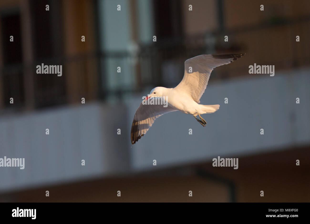 Audouins Meeuw vliegend langs gebouw; Audouin's Gull flying in front of buildings Stock Photo