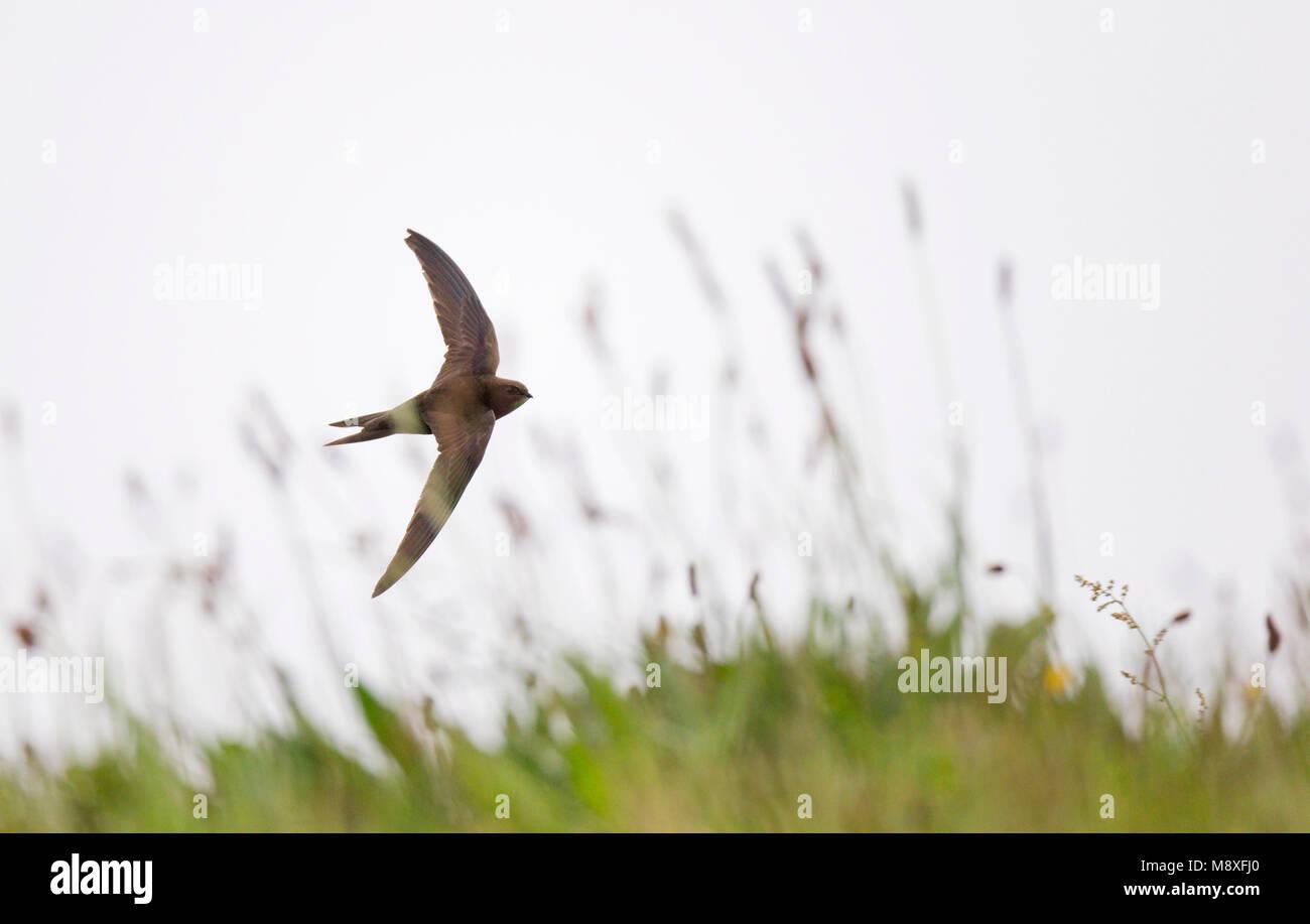 Fouragerende Gierzwaluw vliegt met slecht en koud weer laag boven de vegetatie;Foraging Common Swift flying low Stock Photo