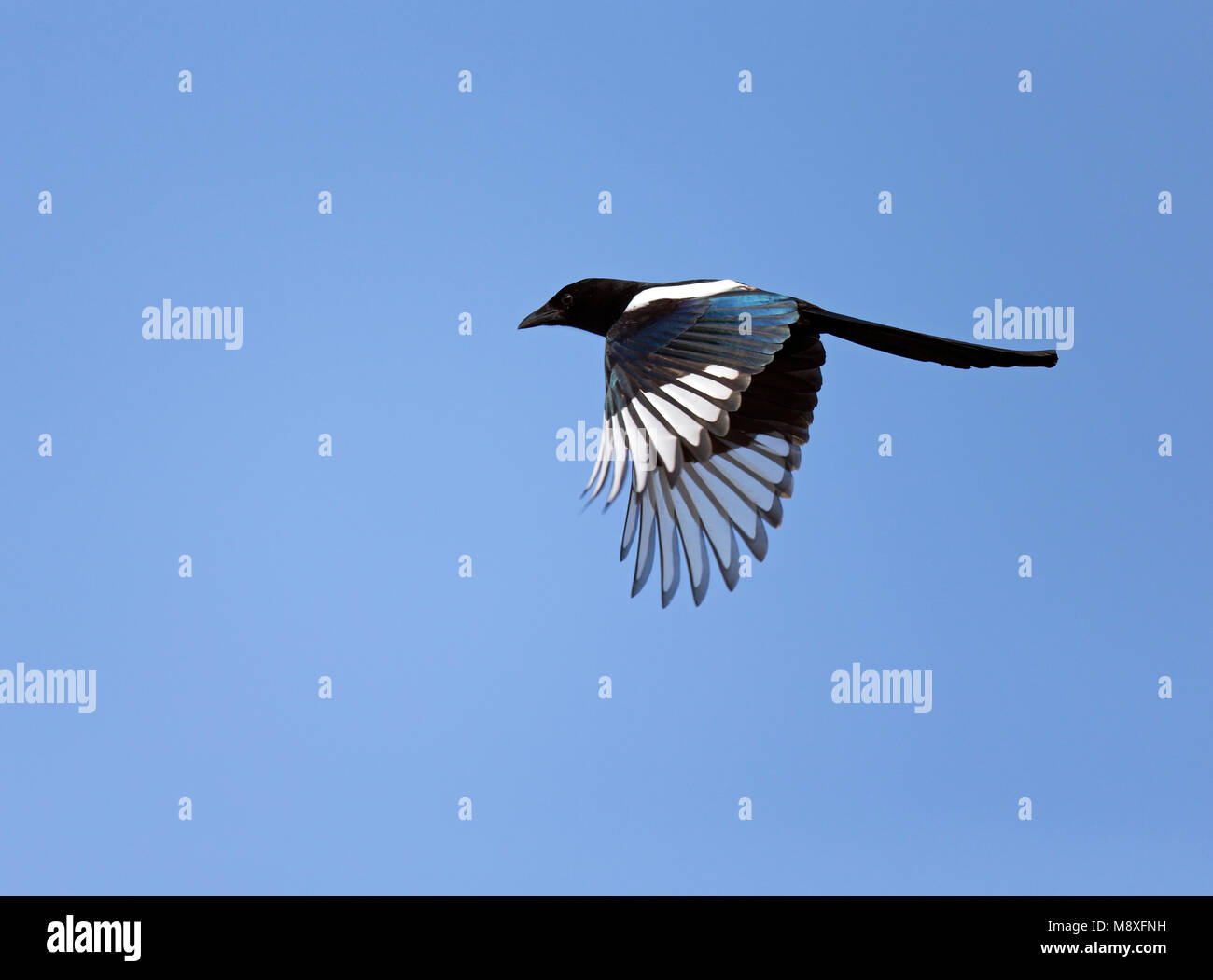 Ekster vliegend in de blauwe lucht;Flying Common Magpie against blue sky Stock Photo