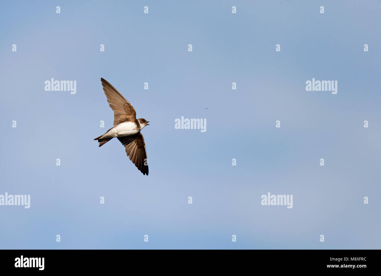 Vliegende fouragerende Oeverzwaluw vangt met open snavel insect uit de lucht; Flying foraging Sand Martin with open bill to catch an insect from the a Stock Photo