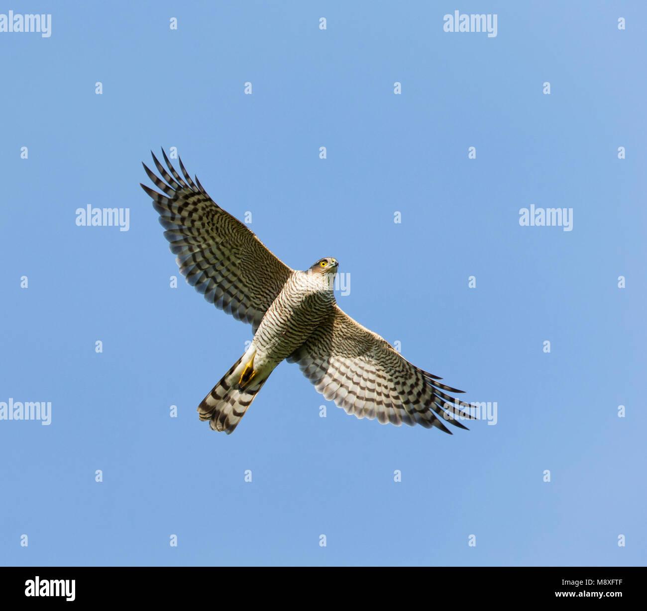 Vliegende trekkende Sperwer;Flying migrating Eurasian Sparrowhawk Stock Photo