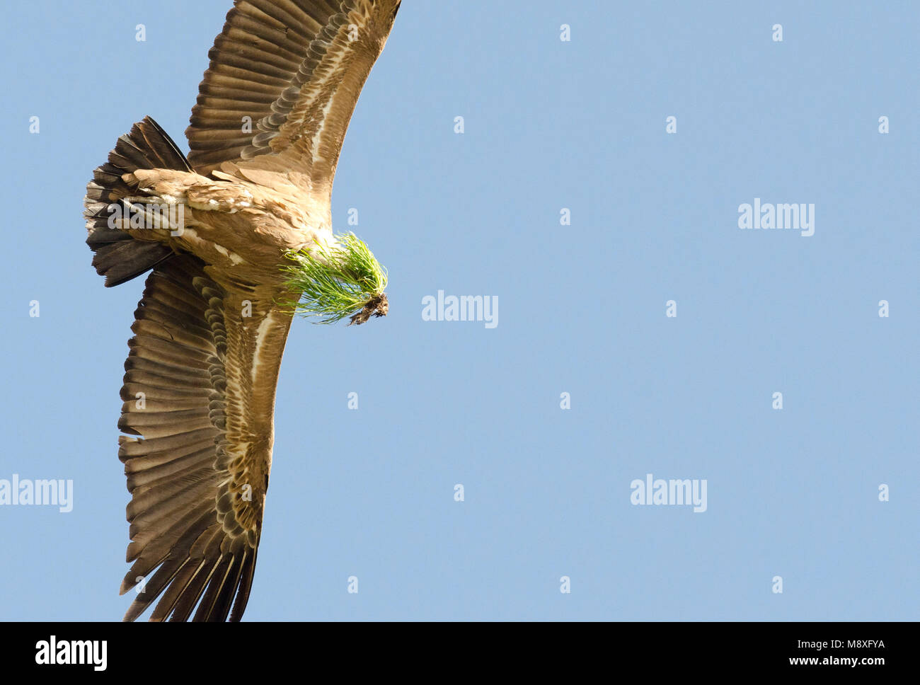 Vale Gier met nest materiaal, Griffon Vulture with nest material Stock Photo