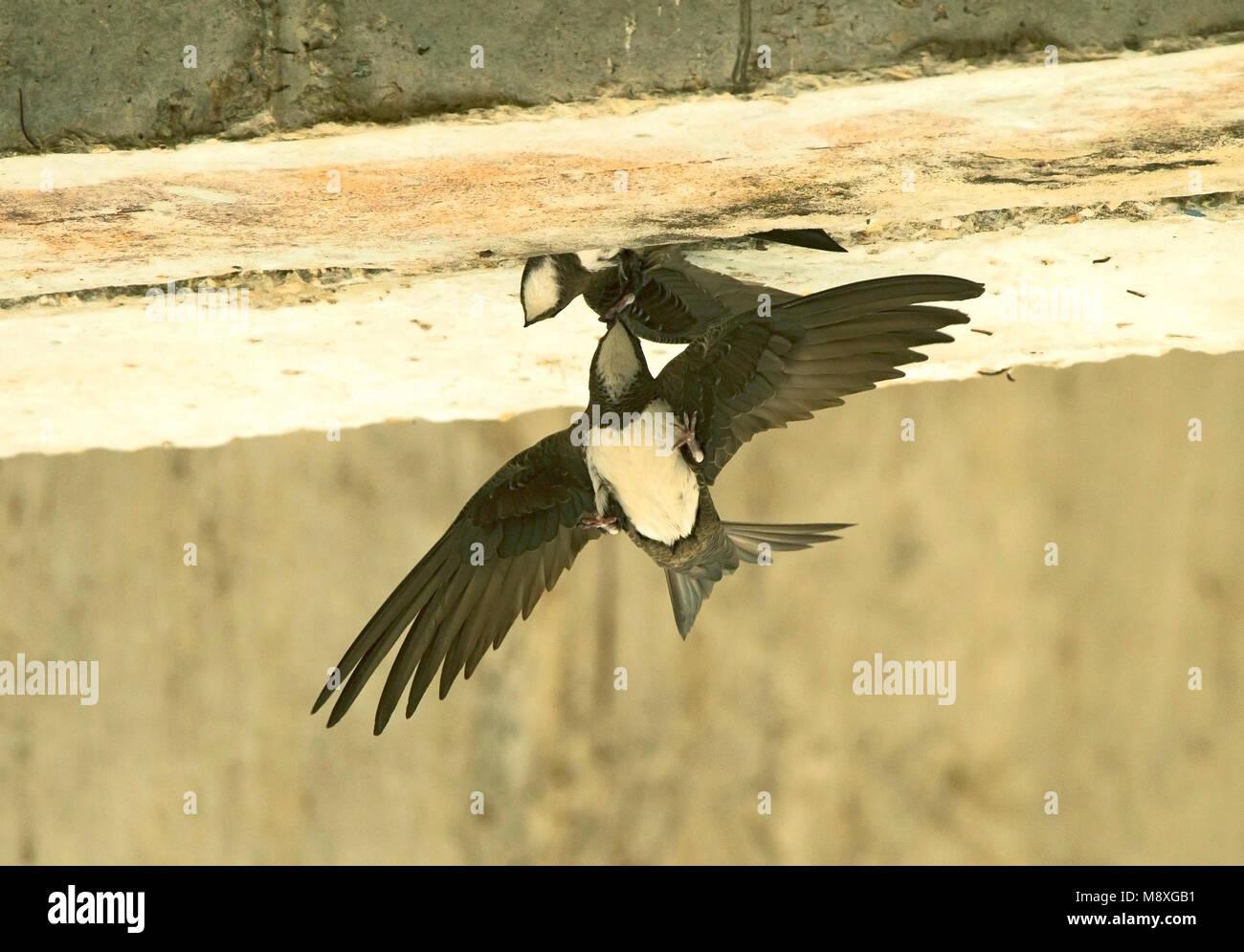 Alpengierzwaluw aanvliegend bij nest; Alpine Swift in flight near nest Stock Photo