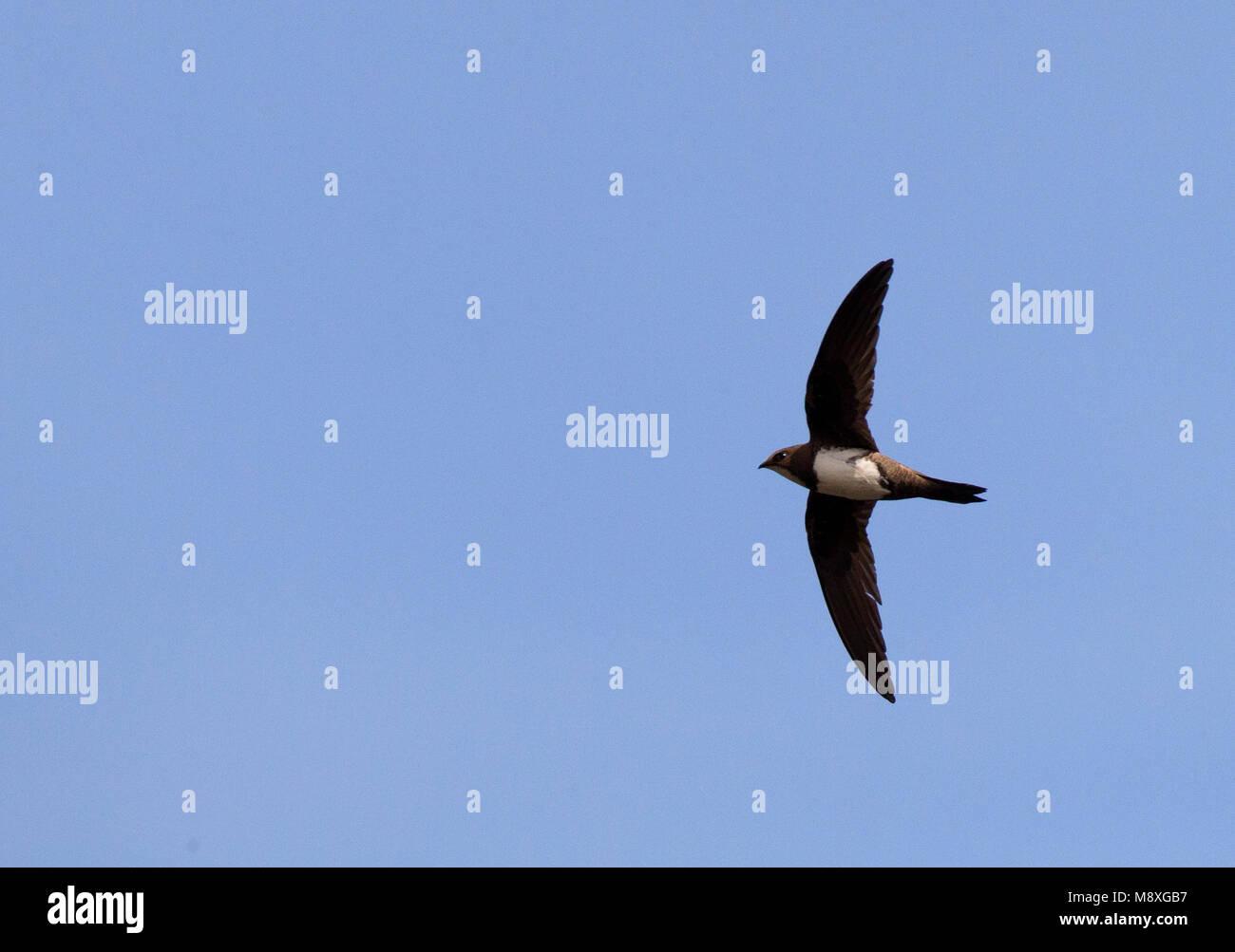 Alpengierzwaluw, Apline Swift - Stock Image