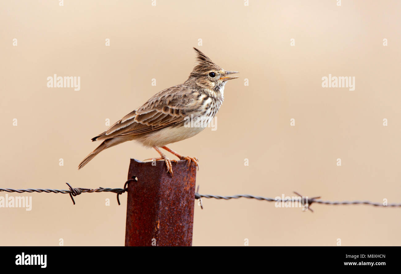 Kuifleeuwerik zingend; Crested Lark singing Stock Photo