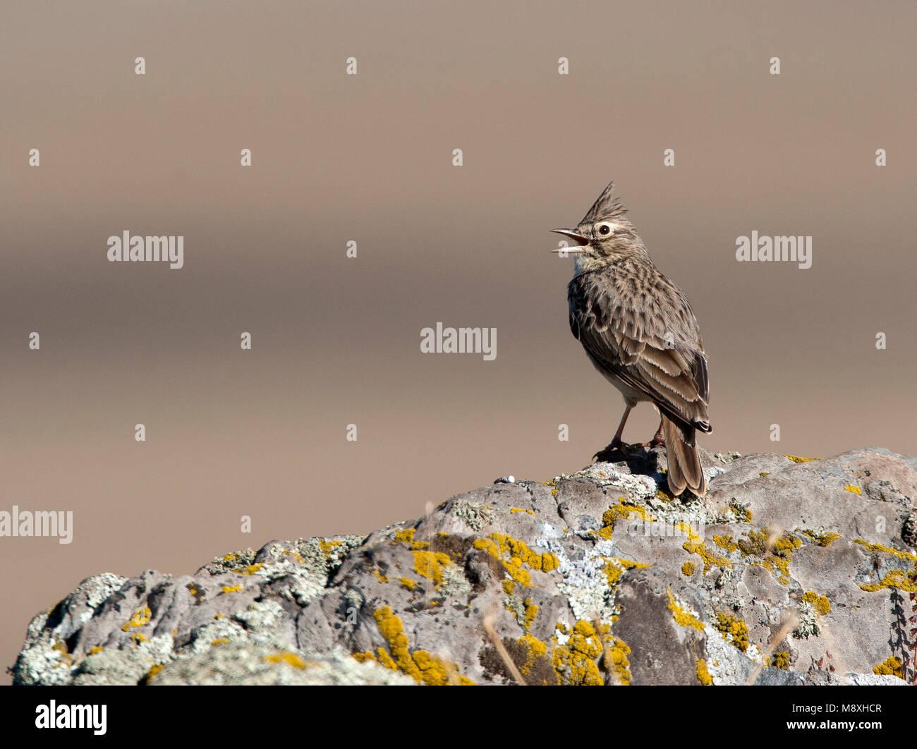 Kuifleeuwerik zingend; Crested Lark singing Stock Photo